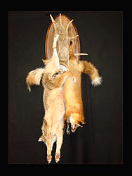 Red Fox Coyote Mount