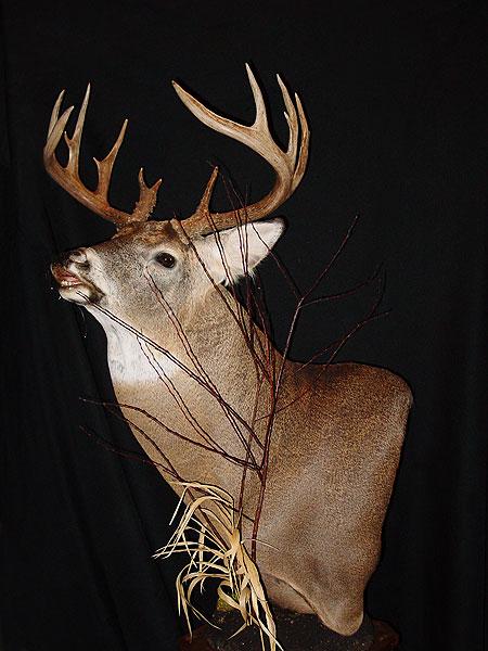 1000 Images About Deer Amp Wildlife Mounts On Pinterest